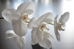 White orchid. With water drops Stock Image