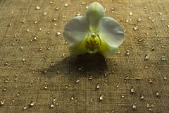 White orchid and water drops stock photo