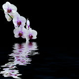 White orchid water reflection Royalty Free Stock Images