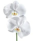White orchid - wellness of couple concept Royalty Free Stock Images