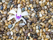 White orchid on wet pebbles. White and purple cataleya orchid on colored pebbles Royalty Free Stock Photography