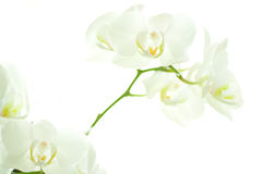 White orchid on white. Royalty Free Stock Photos