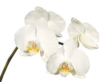 White orchid on the white background Stock Photos