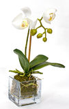 White orchid on white background Royalty Free Stock Images