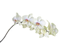 White orchid on white background with clipping path Royalty Free Stock Photos