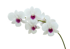 White orchid on white blackbackground Stock Images