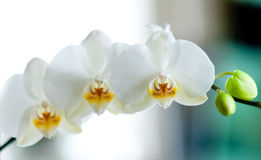 White orchid on white and blue background Royalty Free Stock Photos