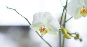 White orchid on white and blue background Stock Image