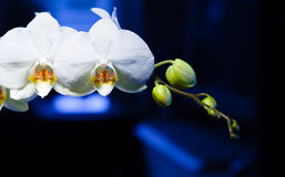 White orchid on white and blue background Stock Photography