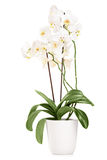 White orchid in a white pot with many flowers Royalty Free Stock Photography