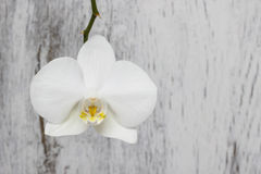 White orchid on white wood background Royalty Free Stock Images