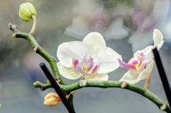 White orchid at window, Orchidaceae, Phalaenopsis known as the Moth Orchid, abbreviated Phal Stock Images