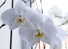 White orchid on a window sill background stock image