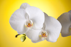 White orchid on yellow background Stock Photos