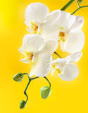 White orchid on yellow background Royalty Free Stock Image