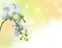 White orchid on yellow background Stock Images