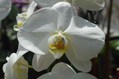 White orchid with yellow lip. In bright sunshine stock images