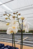 White orchidaceae in greenhouse Stock Images
