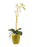 White orchidaceae orchid flower isolated Stock Image