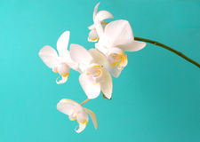 White orchidcomposition. White orchid on mint background Stock Image