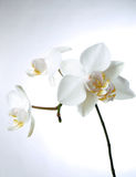 White orchiddream. Isolated white orchid Royalty Free Stock Photo