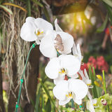 White orchidea Royalty Free Stock Photography