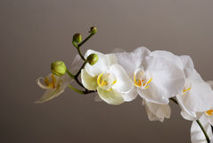 White orchids. Against a dark background Royalty Free Stock Image