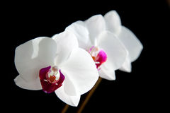White Orchids Stock Images