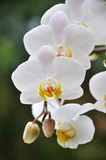 White Orchids. On natural green background Stock Photography