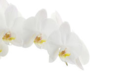 White orchids royalty free stock photos