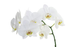 White orchids Stock Photo