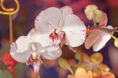 White orchids. Close-up of orchids in full bloom Stock Image