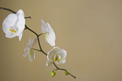 Free White Orchids Stock Image - 9117401