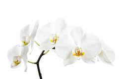White orchids. A sprig of white orchid blossoms on a white background. Family: Orchidaceae Stock Image