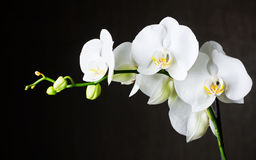 White orchids against dark background Royalty Free Stock Photo