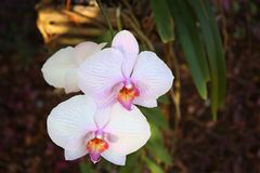 White orchids on background stock photography