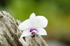 White orchids beautifully on the stump.  royalty free stock image