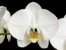 White Orchids on Black Royalty Free Stock Images