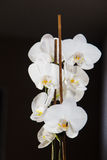 White orchids on black backgroud. White orchids isolated on black backgroud Stock Image