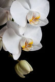 White orchids on black background royalty free stock photo