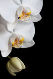 White orchids on black background Stock Images