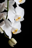 White orchids on black background Stock Photography