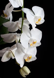 White orchids on black background Stock Image