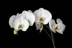 White Orchids with Black Background Royalty Free Stock Image