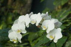 White orchids in bloom in a garden Stock Image