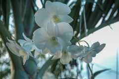 White orchids bloom in the garden royalty free stock images