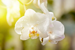White orchids in bloom in a summer garden Stock Photo