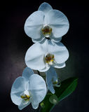 White orchids. Blooming white orchid with leaves and roots on a black background Royalty Free Stock Images