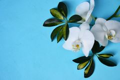 White orchids  on blue background. White orchids on blue background. Place for your text Stock Image