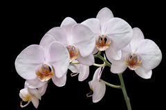 White orchids. Bouquet of white orchids on a background color Stock Photos